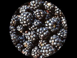 frische regionale Brombeeren direkt vom Feld - regionaler frischer Brombeergenuss bei Erdbeeren Holzner